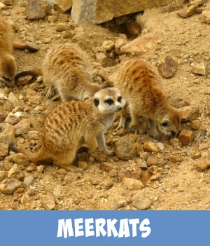 image link to site page on Meerkats