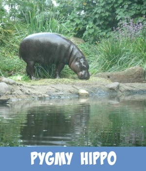 Site page on Melbourne Zoo's Pygmy Hippopotamus