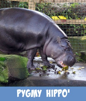 image link to site page on zoo pygmy hippos