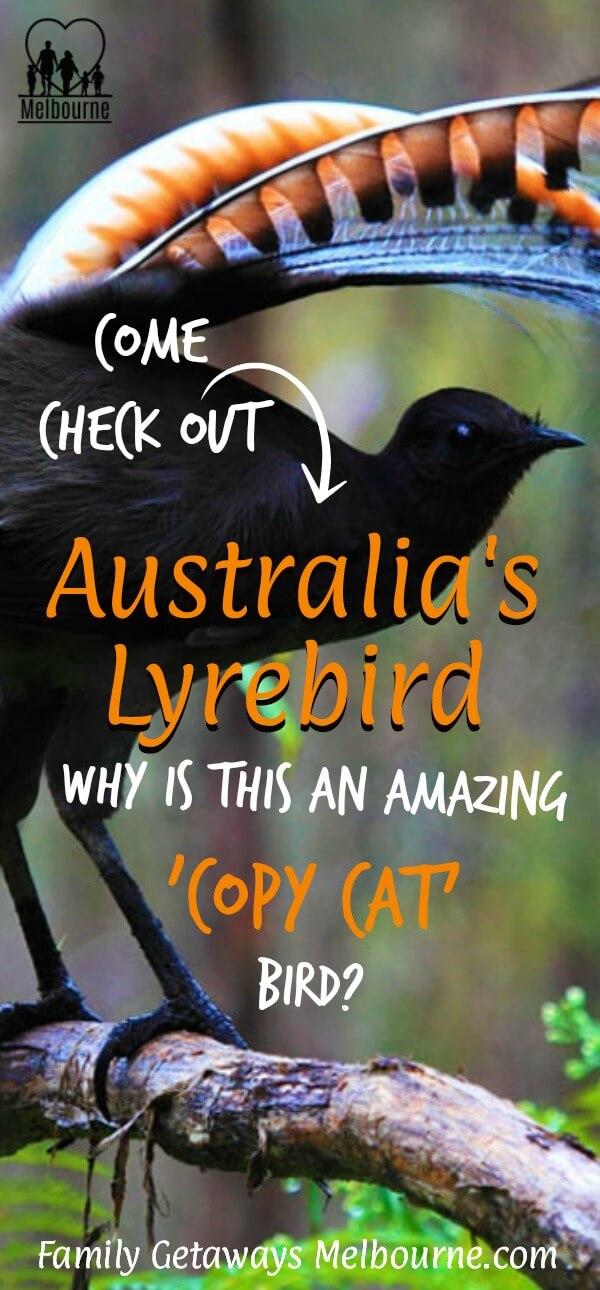 The Australian Lyrebird