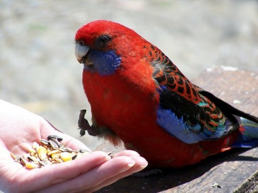 Feeding the crimson rosella at Grants Picnic Ground