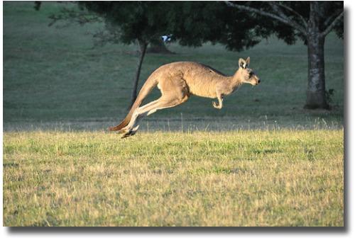 Kangaroo at Cardinia Reservoir Park Melbourne Australia compliments of http://www.flickr.com/photos/chrissamuel/5366854530/