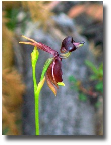 Elvina-Track-Flying-Duck-Orchid