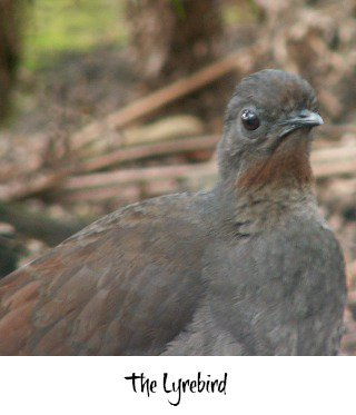 Thumbnail link to the Lyrebird page