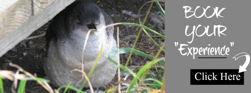 Phillip-Island-Penguin-Viator-Tour-Banner