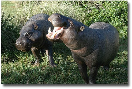 Pygmy Hippopotamus Pair At The Mount Kenya Wildlife Conservancy