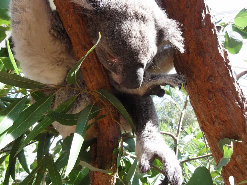Australian Koala housed at the Melbourne Zoo right in the heart of the city's CBD