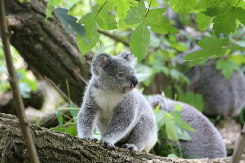 Breakfast with koala at the Melbourne Zoo