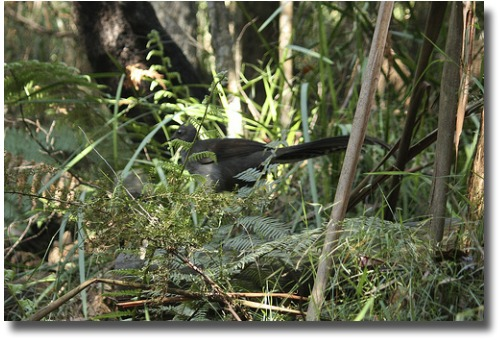 The lyre bird foraging on the forest floor compliments of http://www.flickr.com/photos/coljac/3519844343/