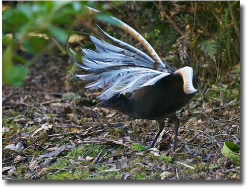 Mating dance of The Superb Lyrebird compliments of http://www.flickr.com/photos/kookr/3866749339/