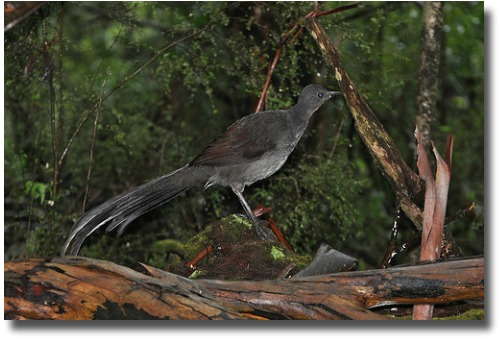 Nesting lyrebird compliments of http://www.flickr.com/photos/kookr/5875835739/