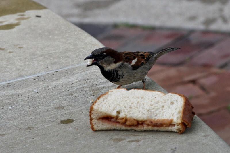 bird eating a sandwich