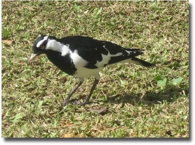 Magpie -lark