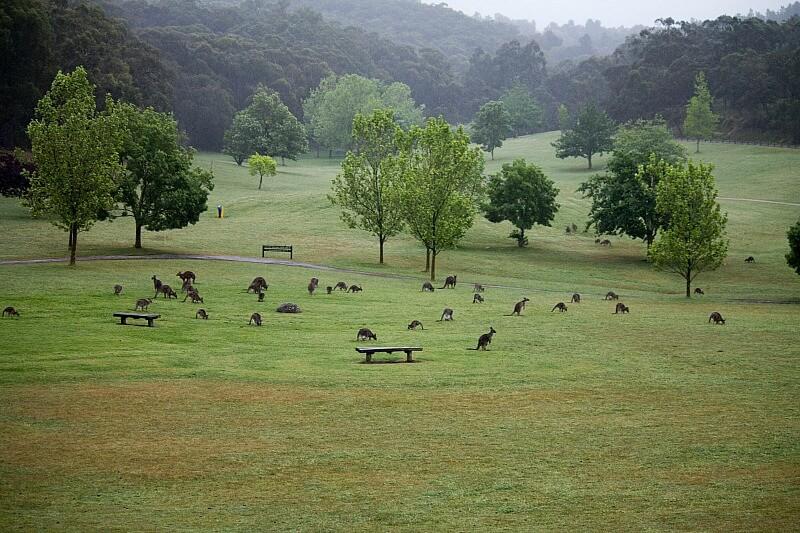 Cardinia Lake Park kangaroos compliments of https://flic.kr/p/FTedJ3