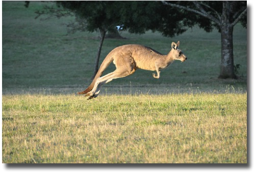 Kangaroo at Cardinia Reservoir Park Melbourne Australia compliments of http://www.flickr.com/photos/chrissamuel/5366854530/