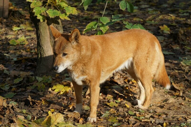 The dingo (Canis dingo) is a wild canine found in Australia