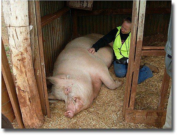 Edgar Alan Pig at Edgars Mission Melbourne Australia