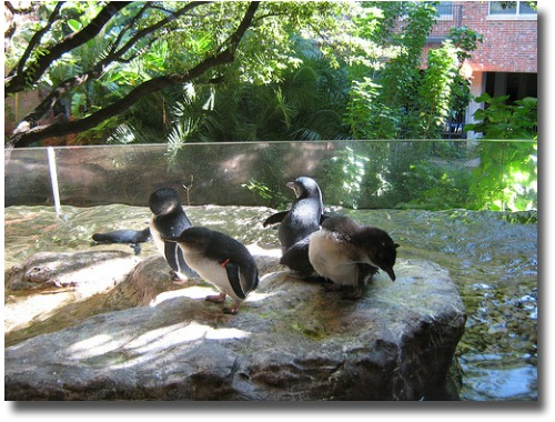 Fairy Penguins at the melbourne Australia Zoo compliments of http://www.flickr.com/photos/oddharmonic/3299889580/