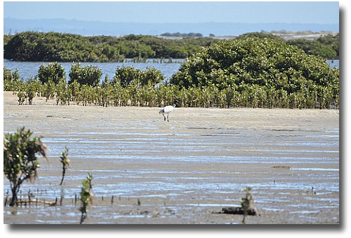 Mangroves on FFrench Island compliments of http://www.flickr.com/photos/76384935@N00/4267773562/