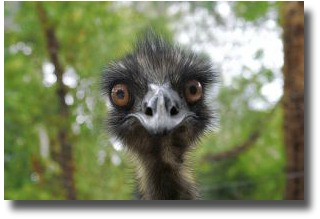 Australian Bush Emu