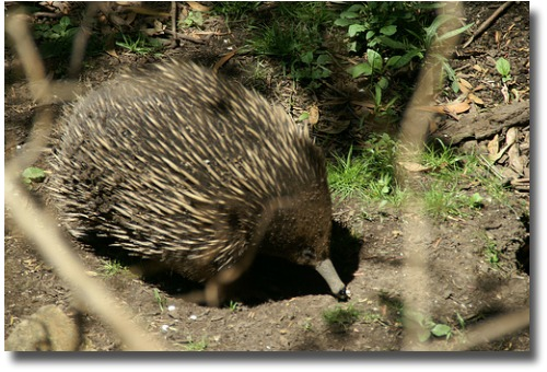Healesville Wildlife Sanctuary echidna compliments of http://www.flickr.com/photos/mackan/104100104/