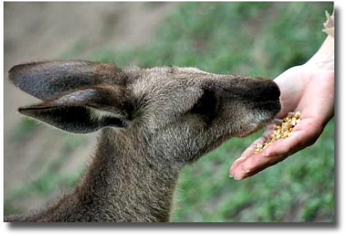 Feeding the Bush Kangaroo at the Healesville Sanctuary Melbourne Australia