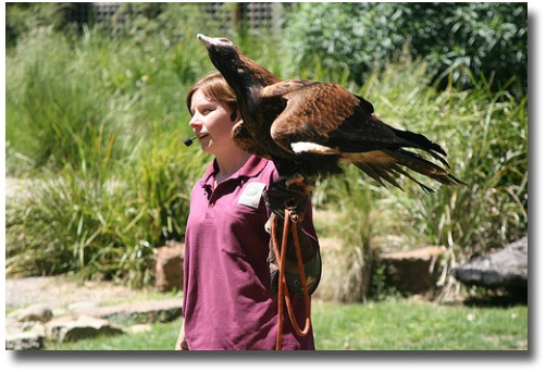 Keeper interacting with wedge tailed eagle  at the Healesville Sanctuarycompliments of http://www.flickr.com/photos/richard_jones/1884529270/