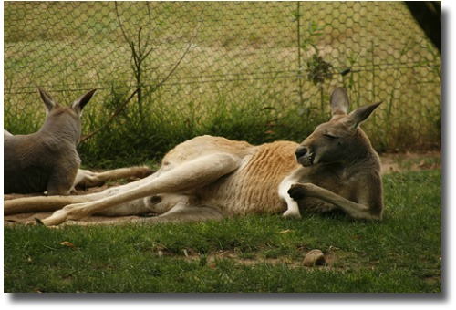 Healesville Wildlife Sanctuary red kangaroo compliments of http://www.flickr.com/photos/roopyfoo/2097562780/