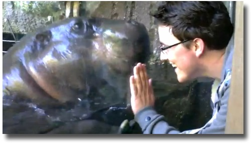 Up close and personal with the Melbourne Zoo's pygmy hippopotamus