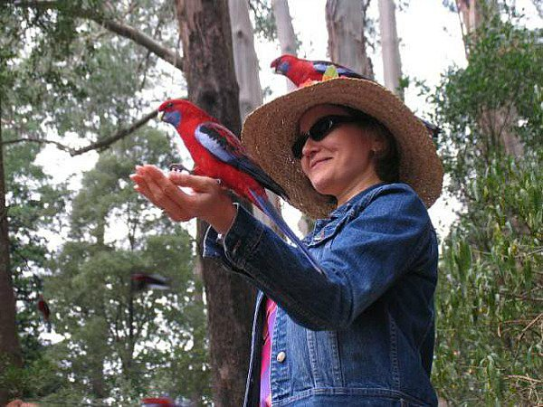 Feeding the crimson rosellas at Kallista comliments of Steve Curle