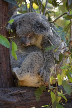 Sleeping koala at Koala Conservation Centre Phillip Island