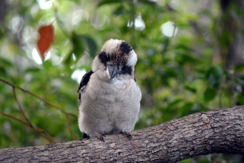 Inquisitive Australian Kookaburra