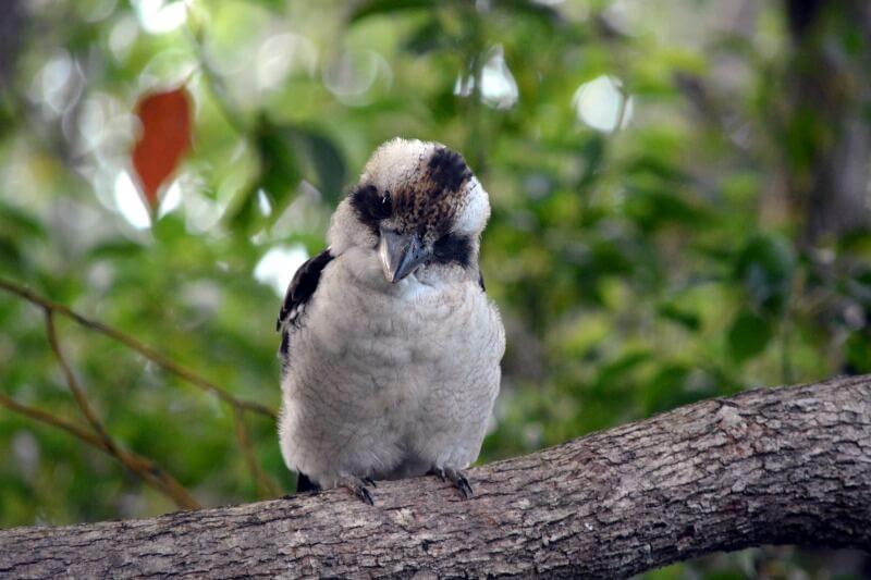 Inquisitive Australian Kookaburra