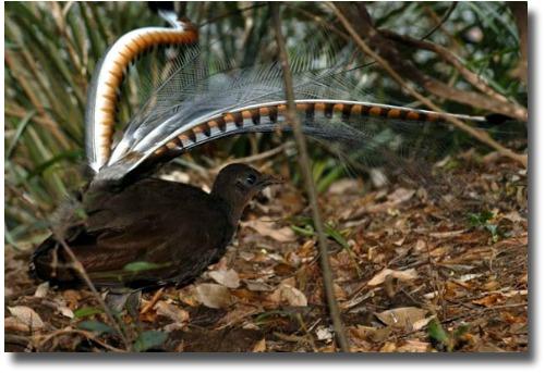 Australian lyrebird