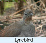 Graphic link to site page on the Lyrebird