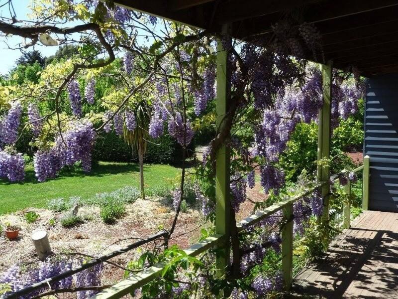 Maze House wisteria creeper