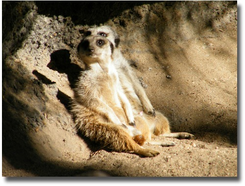 Taking it easy at the Melbourne Zoo Meerkat Manor compliments of http://www.flickr.com/photos/zayzayem/3496359353/