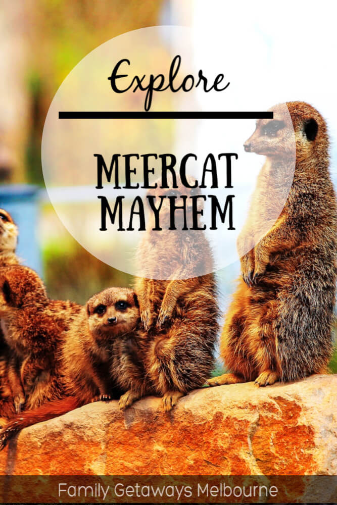 image to pin to pinterest for the meerkat site page