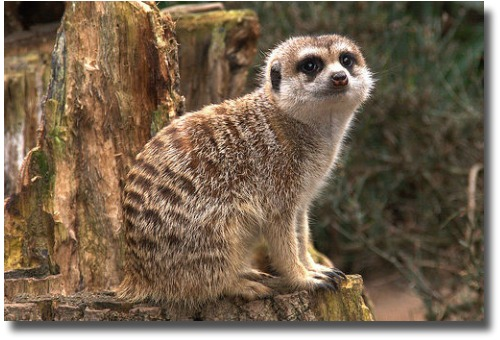 Royal Melbourne Zoo Australia Meerkat compliments of http://www.flickr.com/photos/nzgundy/36754294/