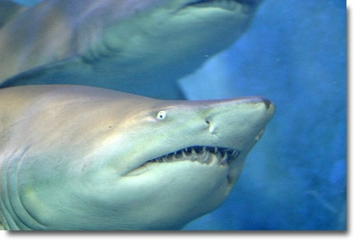 The Melbourne Great White Sharks compliments of http://www.flickr.com/photos/ssandars/26281714/