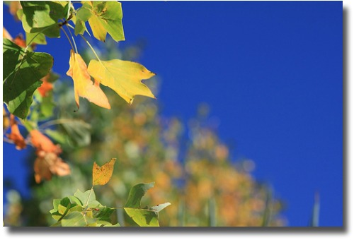 Autumn leaves against a blue sky compliments of http://www.flickr.com/photos/melburnian/4553060518/