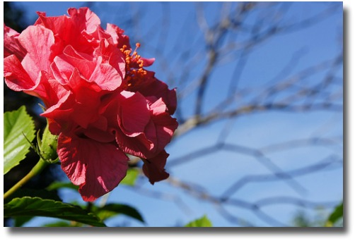 Autumn hibiscus flowers against a blue sky compliments of http://www.flickr.com/photos/pomegranate02/5656941635/