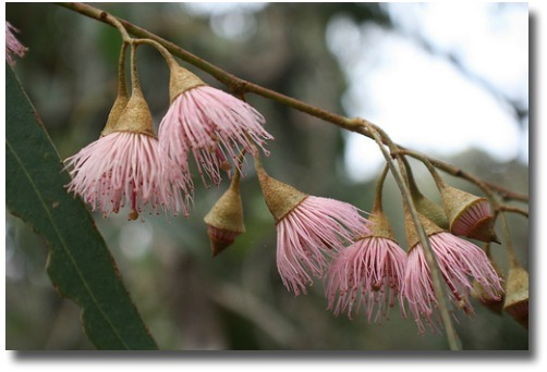 Pink flowering eucalyptus compliments of http://www.flickr.com/photos/arthur_chapman/6160644026/
