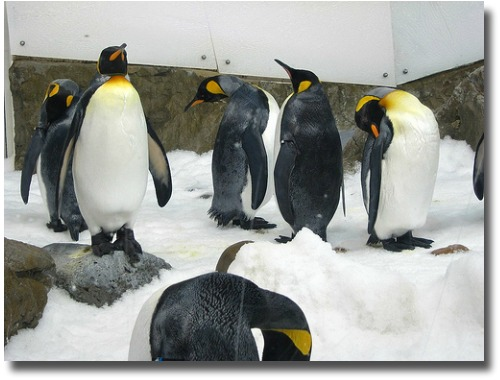 Aquarium Penguins up close and personal compliments of http://www.flickr.com/photos/odaeus/4684299831/