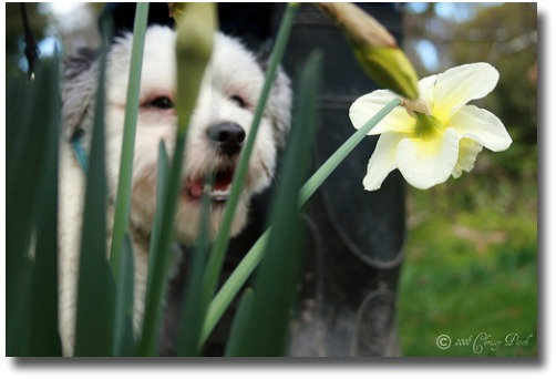 Daffodil dog compliments of http://www.flickr.com/photos/mystic-venus/2770375752/