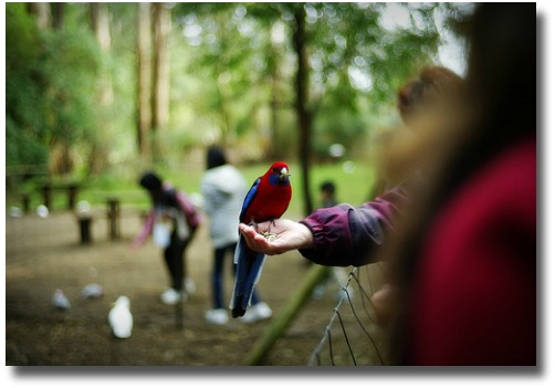 Feeding a Rosella in the Dandenong Mountains compliments of http://www.flickr.com/photos/susanti_chandra/6145333385/in/photostream/