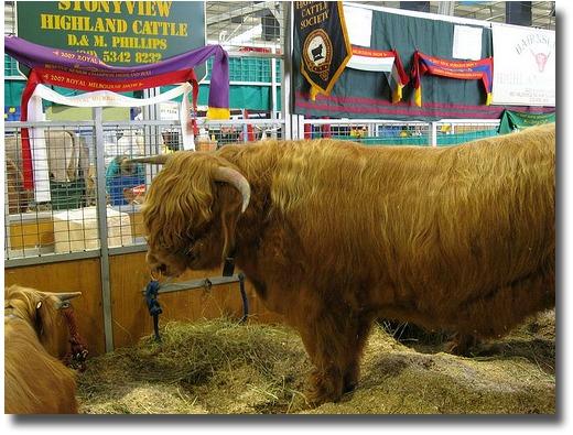 Royal Melbourne Show bull compliments of http://www.flickr.com/photos/m-gem/2611562798/