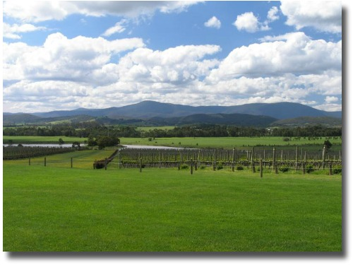 Vineyard in the Yarra Valley - eastern countryside of Victoria