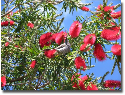 Wattle Bird in Bottle Brush bush Melbourne parks and gardens