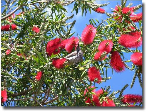 Wattle Bird in Bottle Brush bush Melbourne parks and gardens